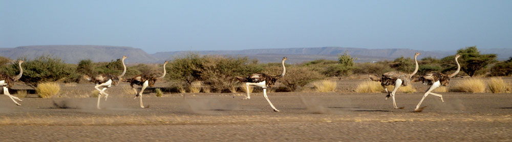 Figure 4. Land Cruiser vs. ostriches – a morning race to our field site.
